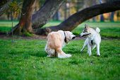 Husky And Labrador Dogs Fighting Over A Wooden Stick In A Summer Park