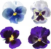 illustration with four blue garden violet blooms isolated on white background