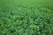 foto of alfalfa  - Alfalfa - JPG