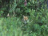 Fox Standing by Bushes