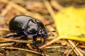 Beetle In Forest