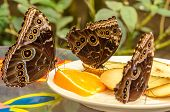 Three Butterflies Enjoying Fruit