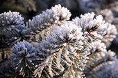 stock photo of conifers  - Beautiful winter landscape - JPG