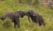 Two young male elephants play fighting.