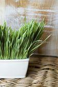 Wheatgrass Natural Concept