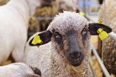 Clipped Sheep