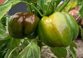 Two green-brown bell peppers in the garden