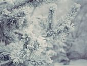 Beautiful christmas evergreen spruce tree with fresh snow