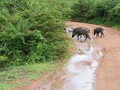 image of boar  - Wild boars crossing road in Yala National Park Sri Lanka Southern Province Asia - JPG