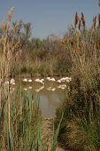 Flamingos framed by Reeds