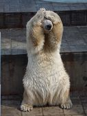foto of zoo  - polar bear hides the muzzle paws in the Siberian zoo - JPG