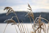 stock photo of australie  - Frost on Common Reed seed heads  - JPG