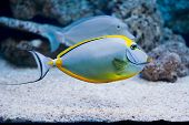stock photo of saltwater fish  - Naso lituratus - barcheek unicornfish - saltwater fish