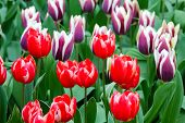 Red And White Tulips Closeup.