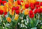 Multicolored Tulips On Spring Flowerbed.