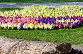 Flowerbed With Many-colored Hyacinths