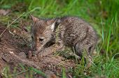 Coyote Pup (canis Latrans) Digs Up Buried Piece Of Meat