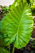 Tropical Elephant Ear Leaf With In Thailand