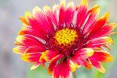 Red Chrysanthemum Macro