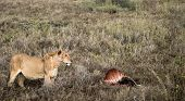 Lion Guarding Zebra Kill