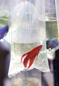 pic of siamese fighting fish  - Red fighting fish in oxygen plastic tube - JPG