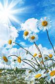 Beautiful daisies in the sun