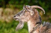 Goat, Capra, Profile Portrait