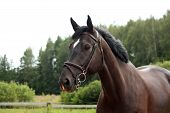 stock photo of breed horse  - Black latvian breed horse portrait at the countryside in summer - JPG