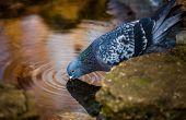 Pigeon drinking water