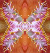 foto of cannonball-flower  - 4 sided mirror image of a closeup of a cannonball tree flower - JPG