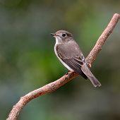 Asian Brown Flycatcher Bird
