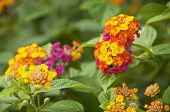 pic of lantana  - Macro of pink and yellow lantana camara flower