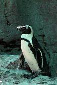 walking pinguin