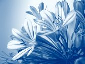 image of gamma  - Agapanthus flowers closeup photo, in blue gamma
