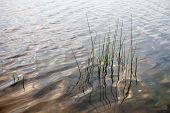 Water Surface With Visible Water Plants And Reed Stems