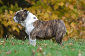 english bulldog standing in the grass