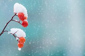 image of mountain-ash  - Background with a snow covered mountain ash - JPG