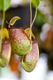 foto of nepenthes-mirabilis  - Nepenthes tropical pitcher plants or monkey cups - JPG