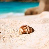 image of hermit  - Hermit crab on beach at Seychelles - JPG