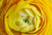 stock photo of buttercup  - artistic close up  of yellow buttercup flower - JPG