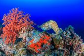 stock photo of cuttlefish  - A large Cuttlefish swims across a coral reef - JPG