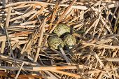 pic of bird egg  - Birds nest with eggs under natural conditions in early spring - JPG