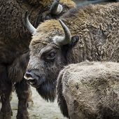 foto of aurochs  - Wisent European bison in Poland on the nature - JPG
