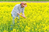 pic of cultivation  - Male Farmer Standing in Oilseed Rapeseed Cultivated Agricultural Field Examining and Controlling The Growth of Plants Crop Protection Agrotech Concept - JPG