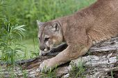 picture of cougar  - Adult cougar sharpening his claws on a fallen tree - JPG