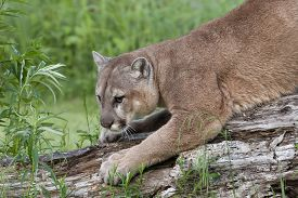 stock photo of cougar  - Adult cougar sharpening his claws on a fallen tree - JPG