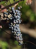 Vino de la uva perdida
