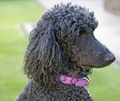 Headshot of standard poodle