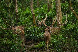 picture of deer  - Chital or cheetal deer  - JPG