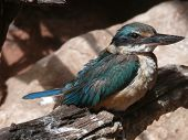 stock photo of blue winged kookaburra  - the kingfisher is in the kookaburra family you can usually hear them before you see them - JPG